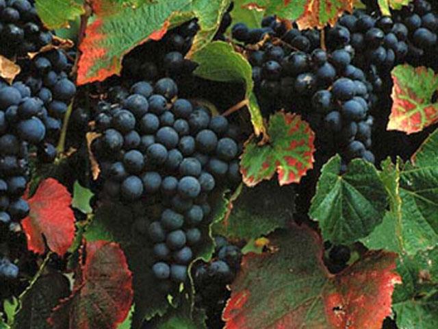 Big_red_malbec_grapes