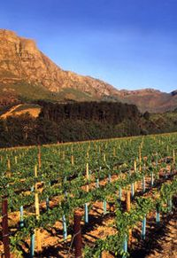 South African Vineyard Tall