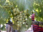 Vines More Grapes