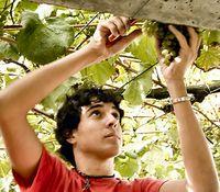 Harvesting the Wine