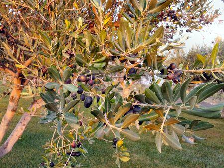 13 Olive Tree