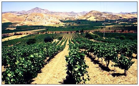 Sicilian Vineyard