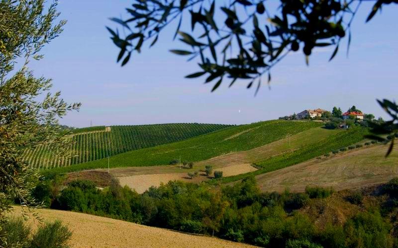 Marche Vineyard