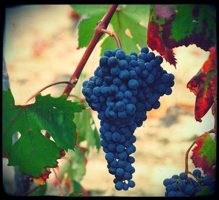 Dolcetta Grapes