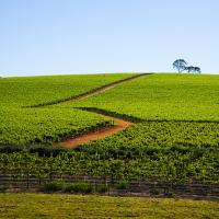 Australian_vineyard_2