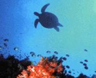 Akumal_turtles