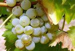 Greco_grape_1